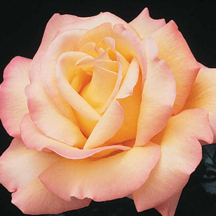 The Day Mister Lincoln Found Peace at the Tropicana – A Rose Tale