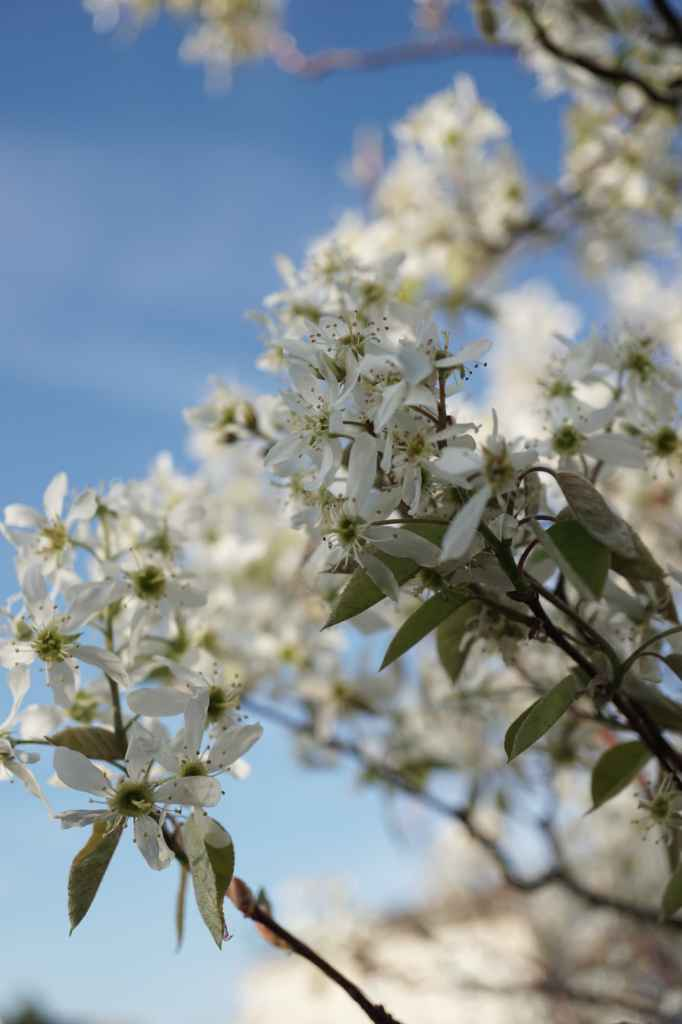 Autumn Brilliance Serviceberry tree flowers