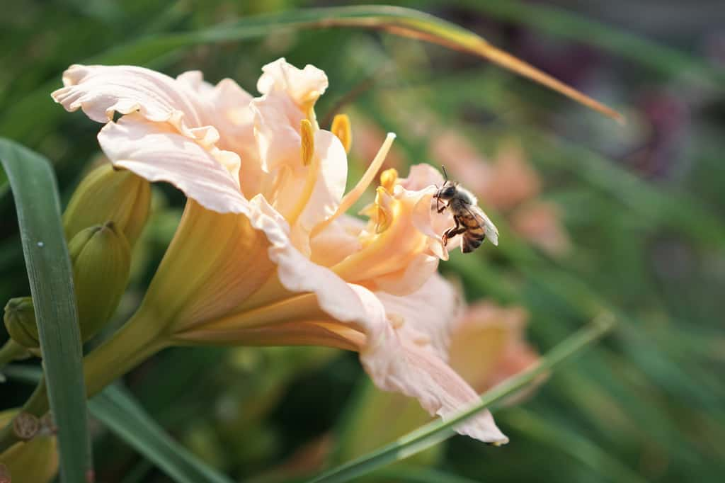 Daylily with honeybee