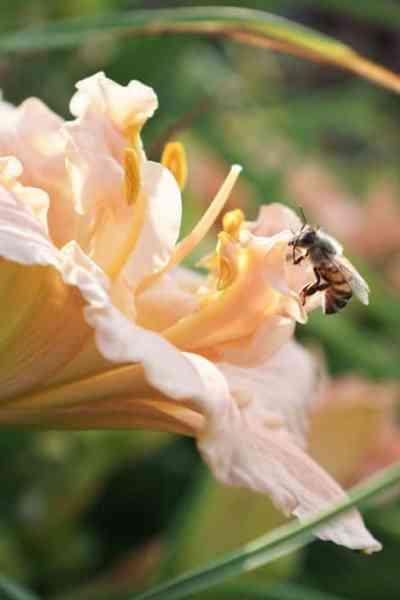 The Best Way to Keep Reblooming Daylilies Blooming