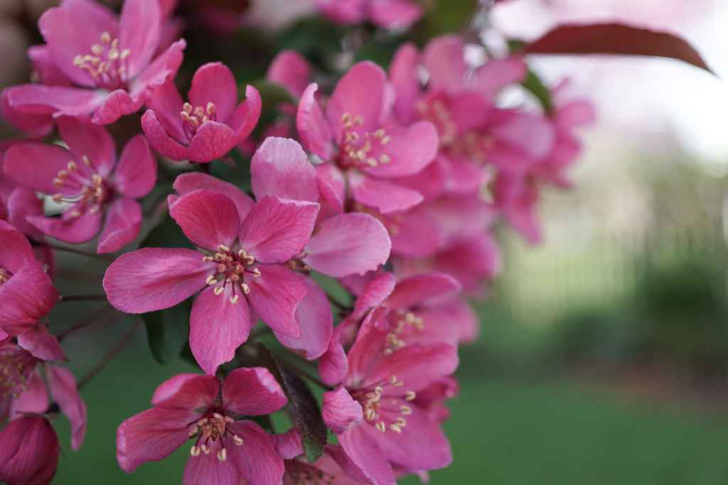 Prairiefire Crabapple tree flowers