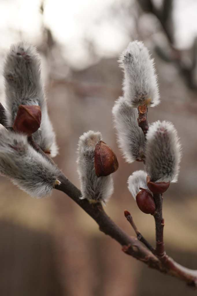 Pussy Willow Tree Catkins