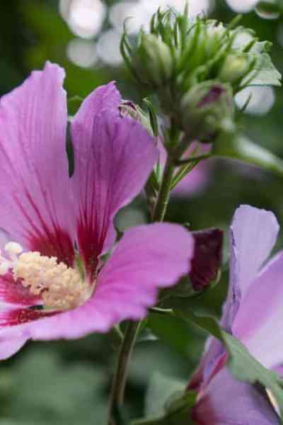 What To Do When Half Your Rose of Sharon Bites the Dust
