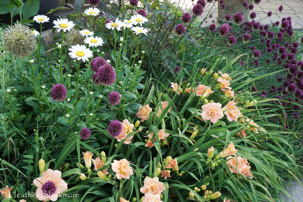 Drumstick Allium with Daylily and Shasta Daisies