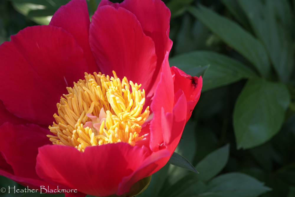 Red Peony with yellow center closeup
