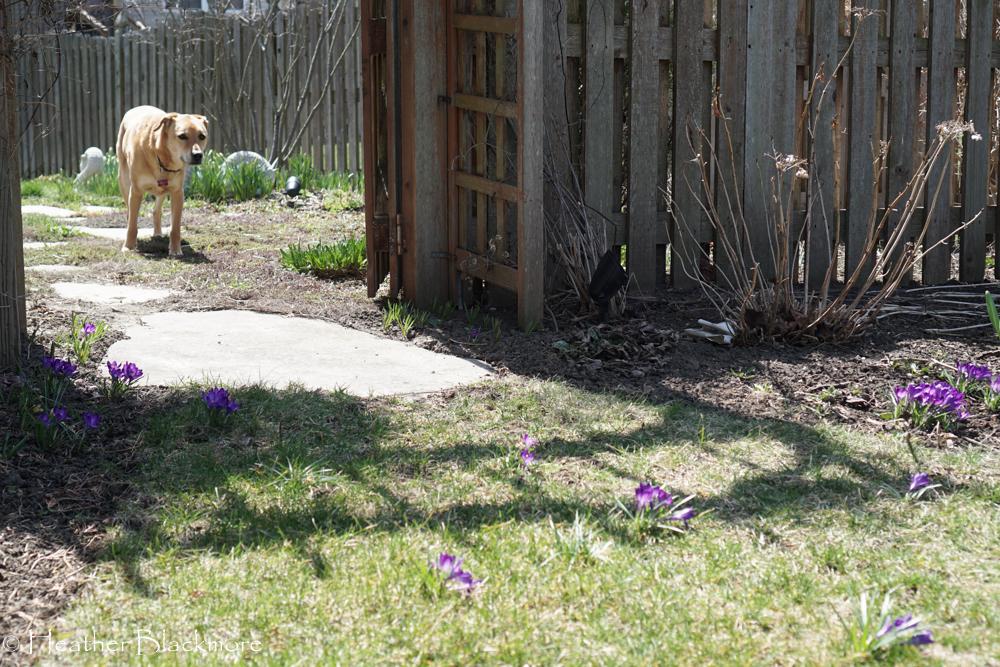 Dog and flowers of crocus bulbs