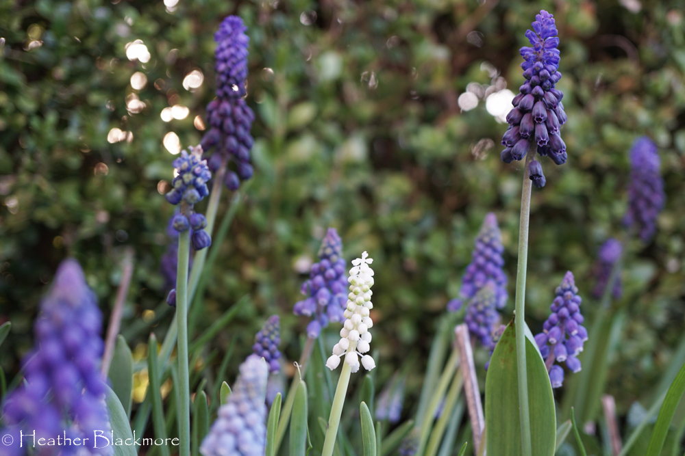 Muscari Bulbs