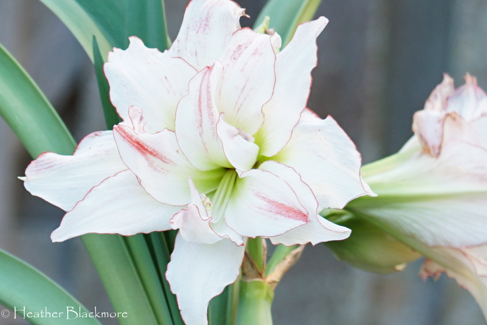 Aphrodite Amaryllis closeup