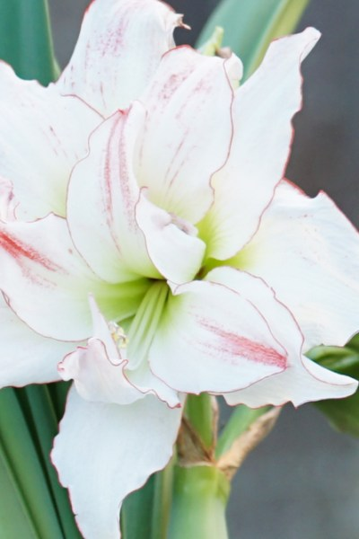 How to Divide Amaryllis and Why You Should