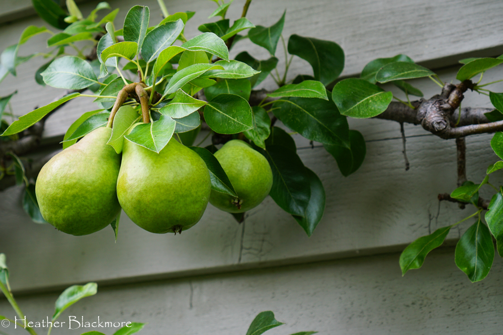 Espaliered pear
