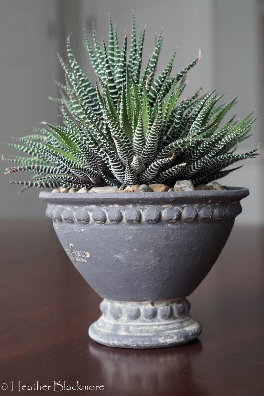 Howarthia houseplant