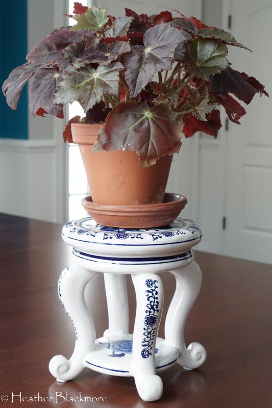 Begonia houseplant