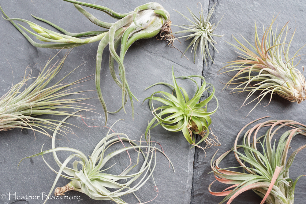 Air Plants on grey slate tile