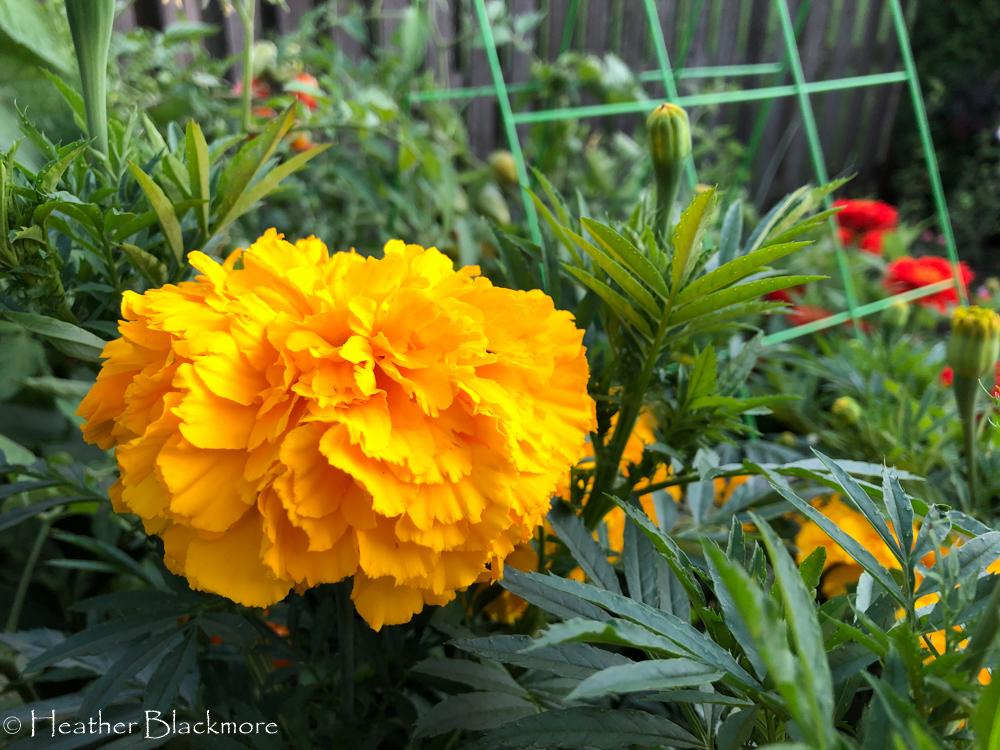 Big Duck Gold Marigold closeup