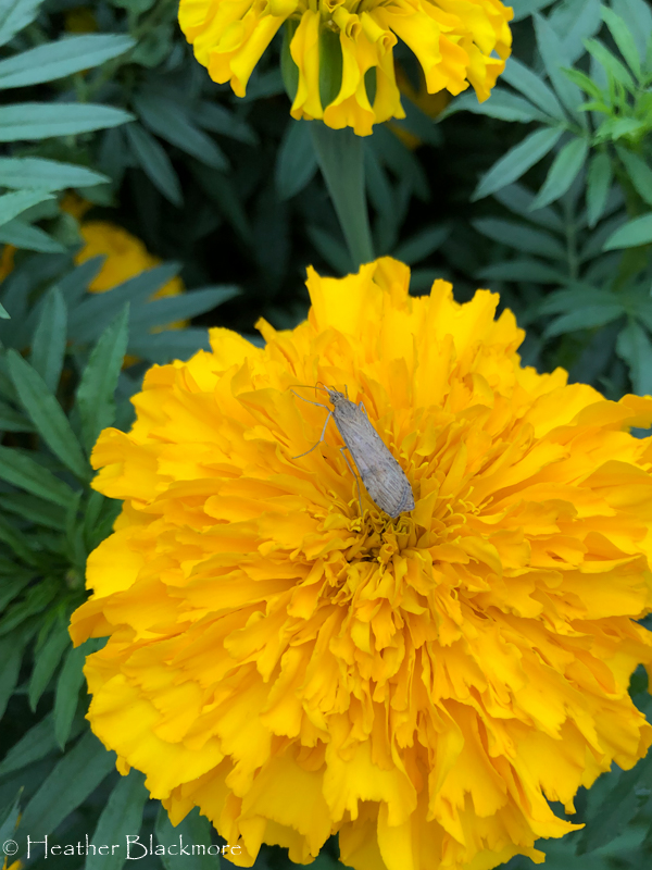 Marigold with moth