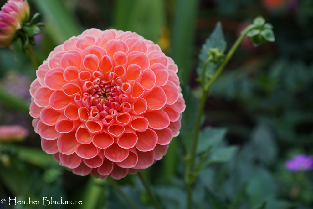 Crichton Honey Dahlia