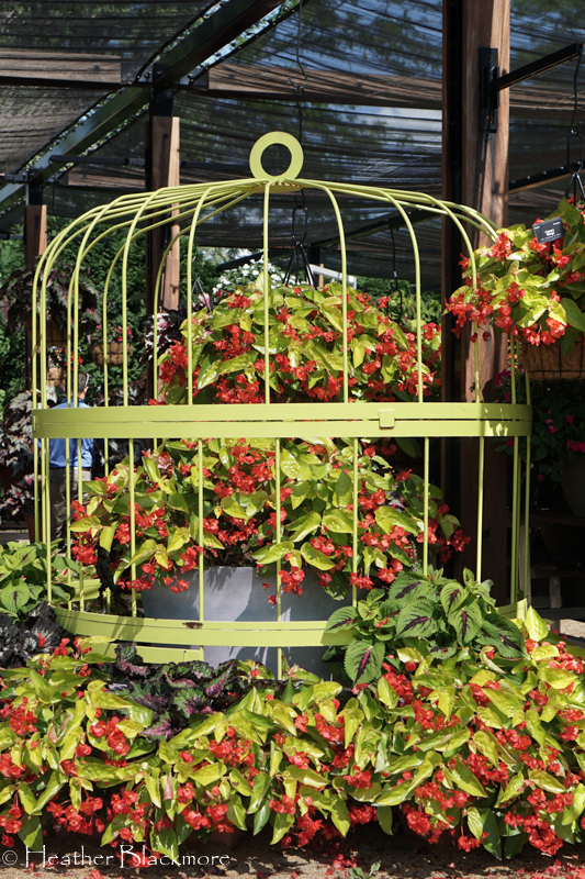 Canary Wings Begonia