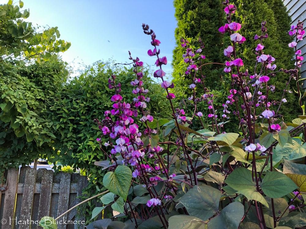 Hyacinth Bean flowers