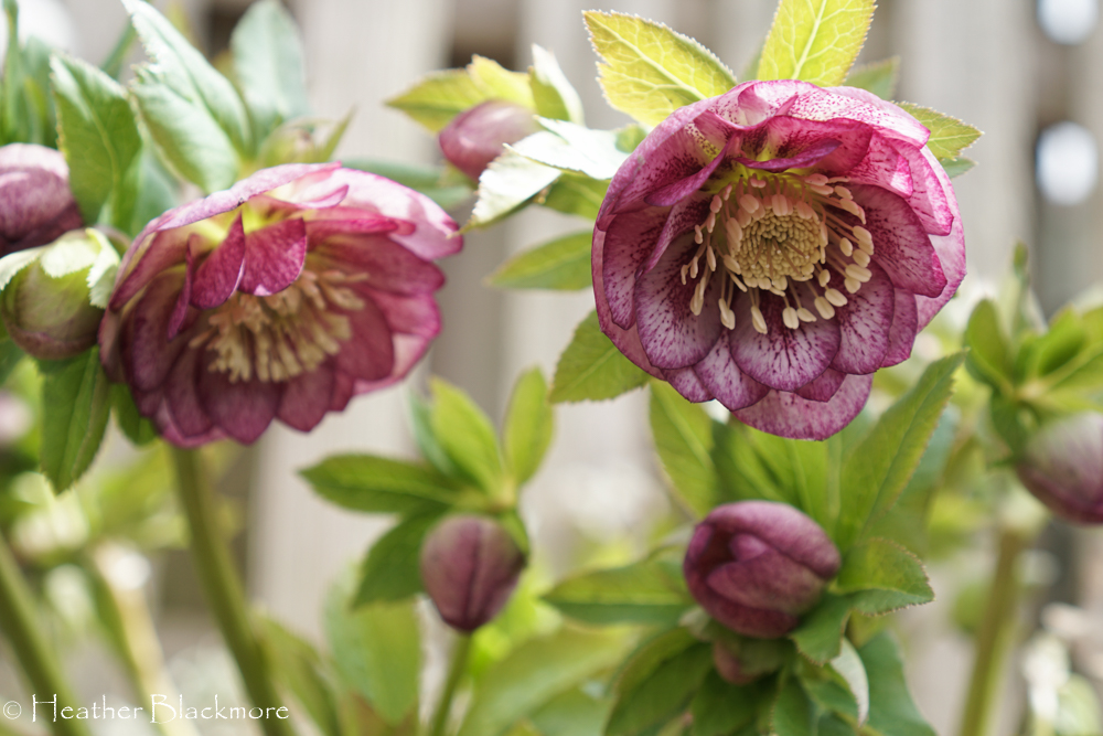 double pink hellebores