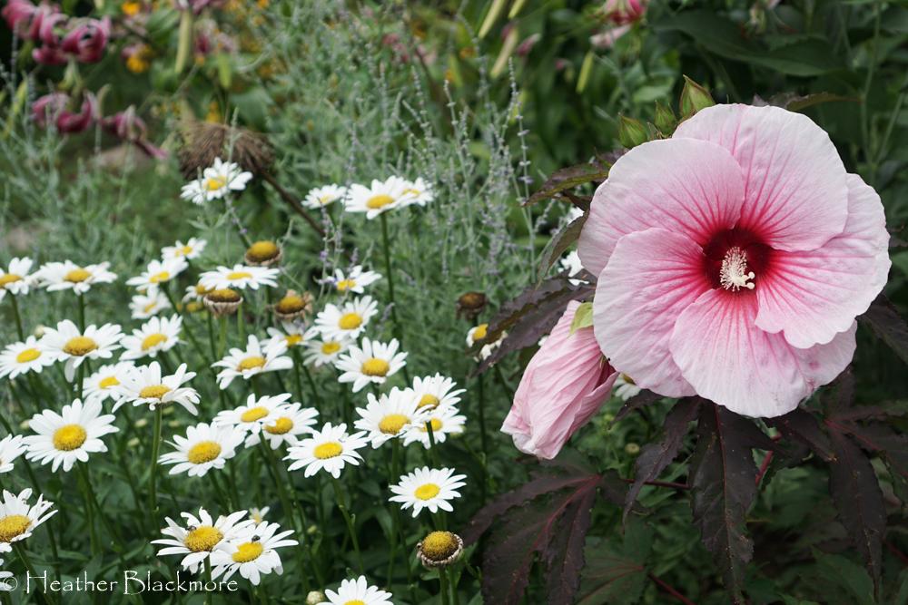 Summer Storm hibiscus