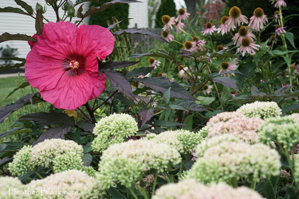 Evening Rose hibiscus flower