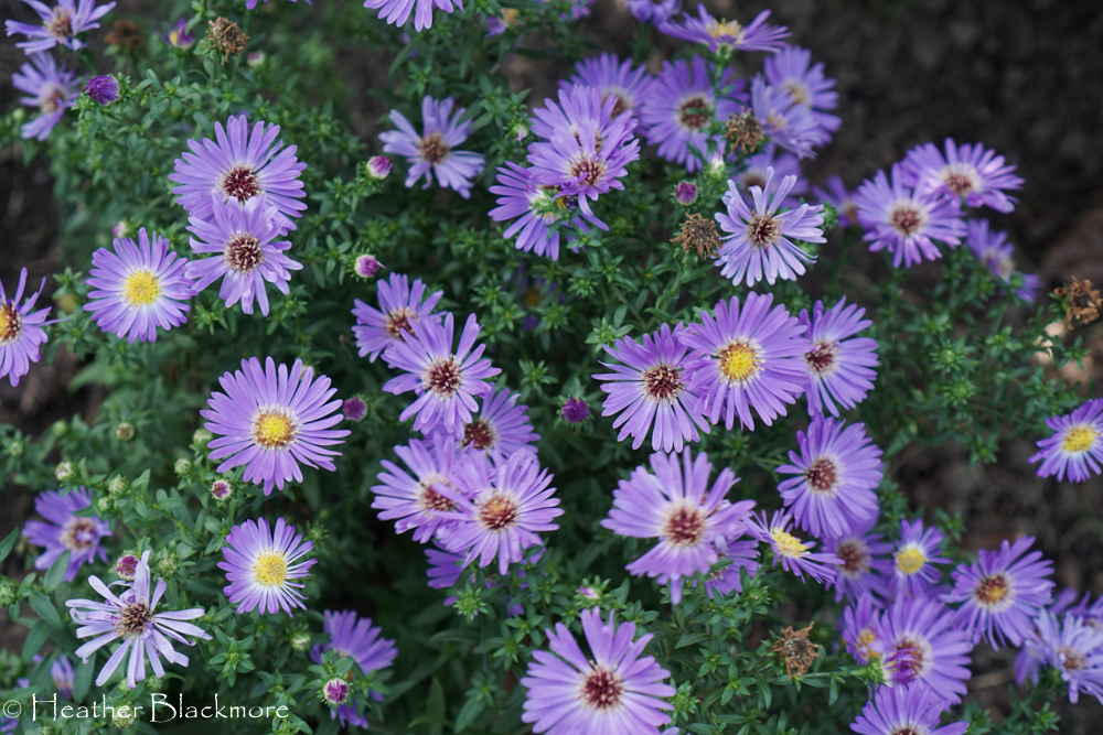 Wood's Blue asters