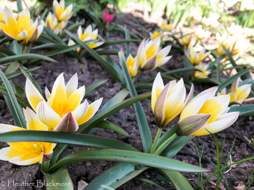 Tarda species tulips