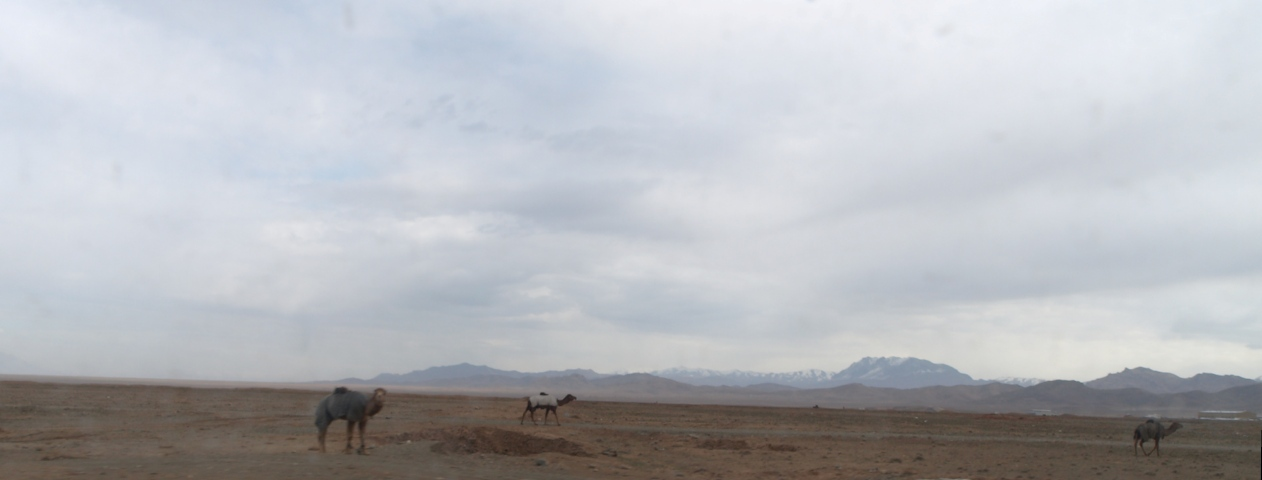camels-outside-herat