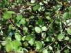 Muehlenbeckia complexa