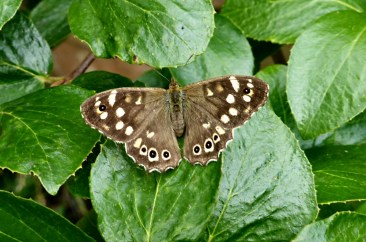 Speckled wood butterfly on the Nunckley Trail