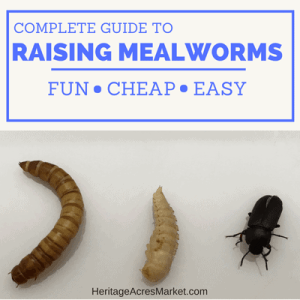 How To Start A Mealworm Farm 1