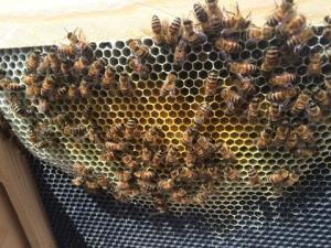 Beekeeping: Moving Frame(s) of Capped Brood to a Weak Hive 3