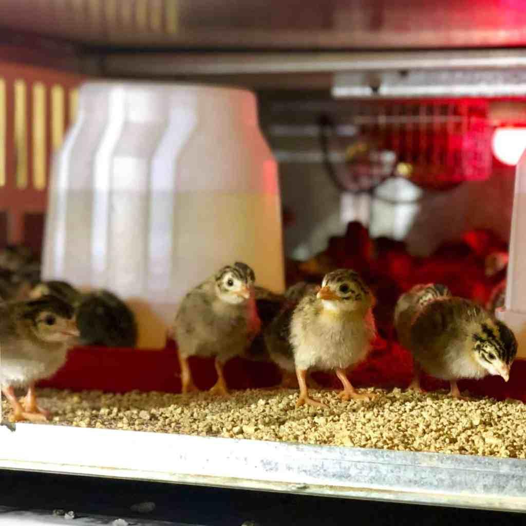 Guinea Fowl Sales 3