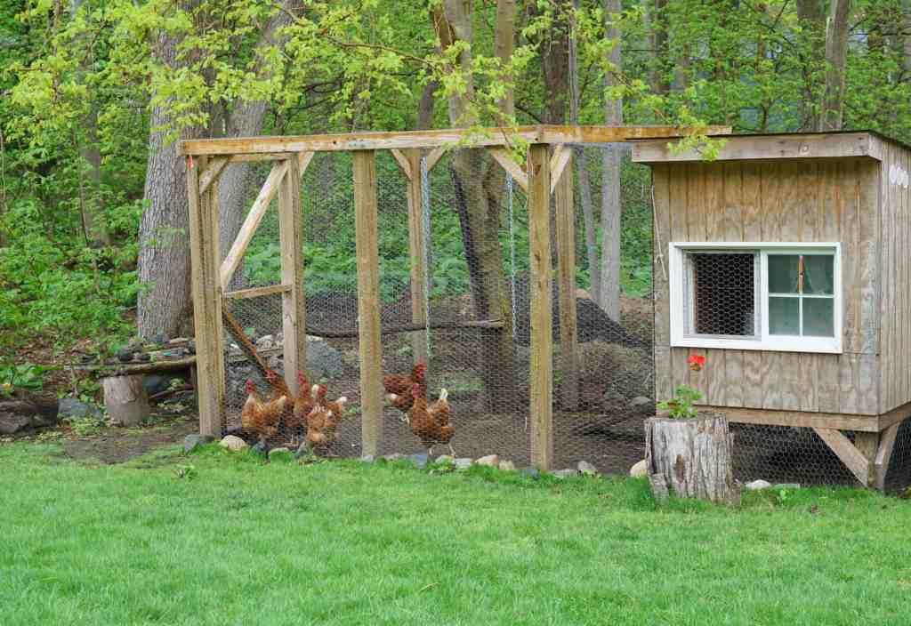 Everything You Wanted To Know About Raising Chickens 8