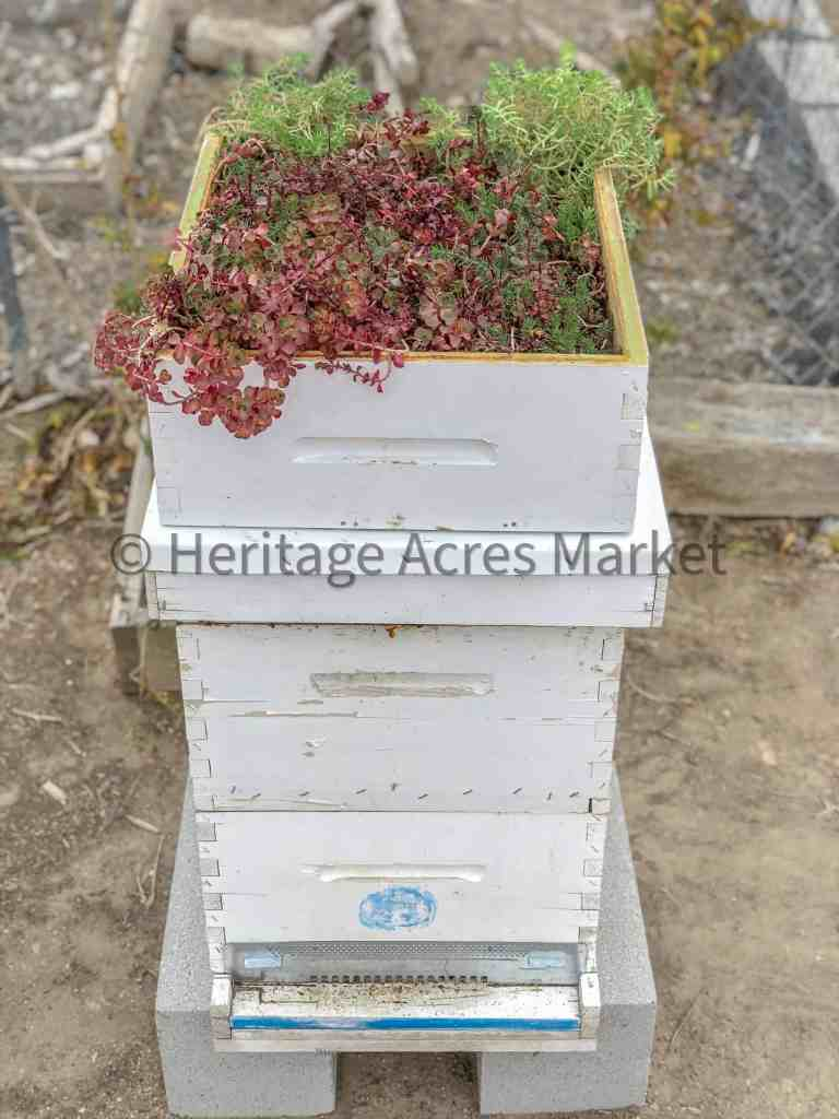 BEE HIVE WITH LIVING ROOF