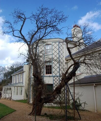Mulberry tree at Down House Ⓒ Trevor Harris
