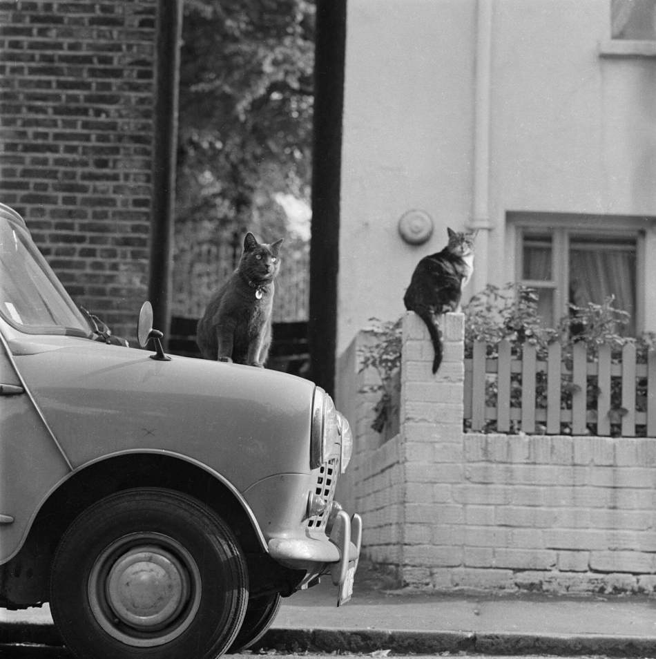 A British shorthair cat is sitting on the bonnet of a mini parked in Pond square, behind another cat is sitting upon a brick pier in front of a house, 1969