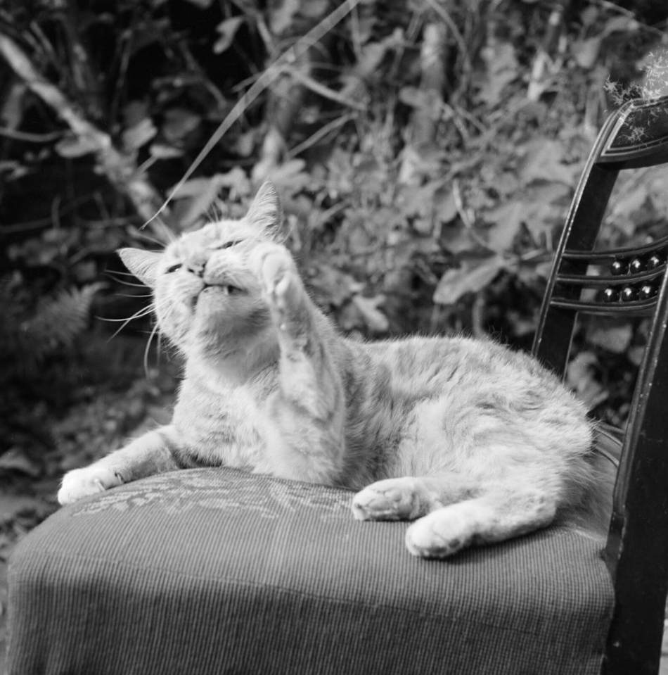 Portrait of a ginger cat lying on a chair in a garden, 1955 - 1965
