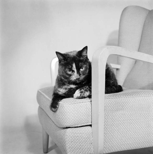 A cat on an armchair, 1950s
