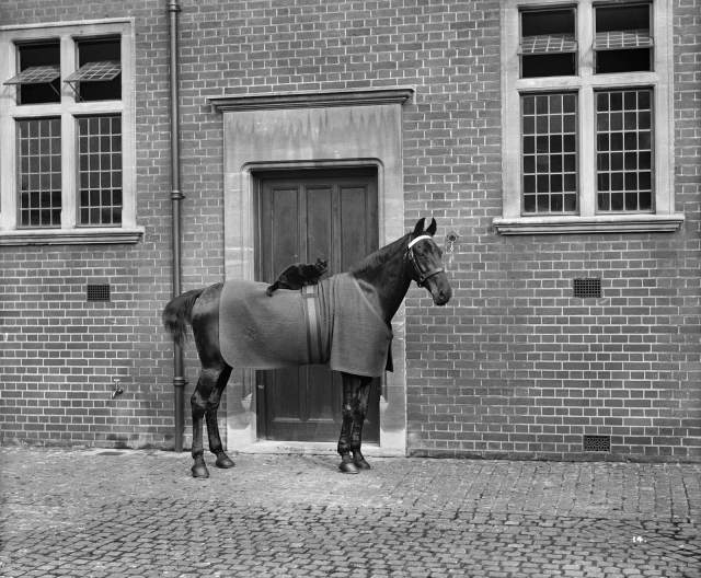 A horse with a cat sitting on it in the stable courtyard at Minley Manor, October 1903