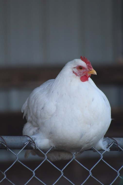Heritage Farm - White Chicken