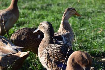 Khaki Campbell Ducks at Heritage Farm
