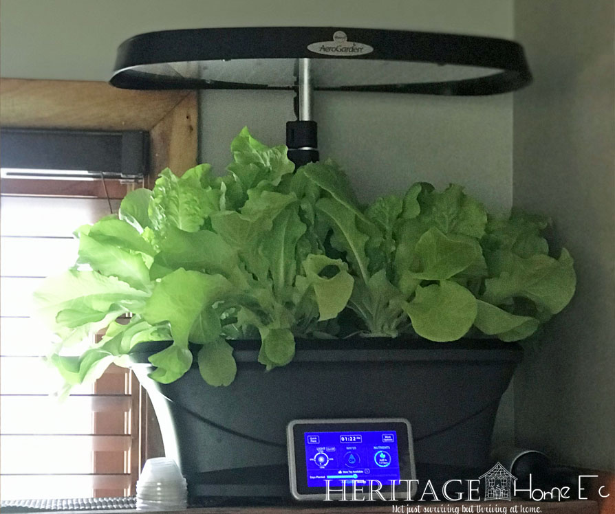Never Buy Bagged Lettuce Again- Heritage Home Ec Tired of wasting money buying lettuce at the store? Here's how we have fresh lettuce year-round without ever buying it at the store. | Garden | Lettuce | Budget | Home Economics |