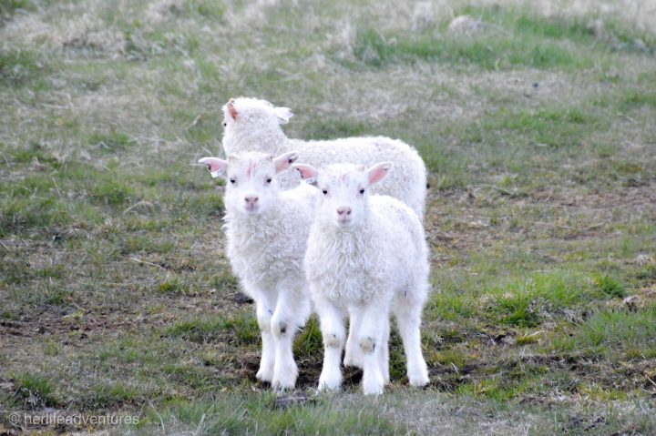 Baby lamb are everywhere in Iceland during the spring.
