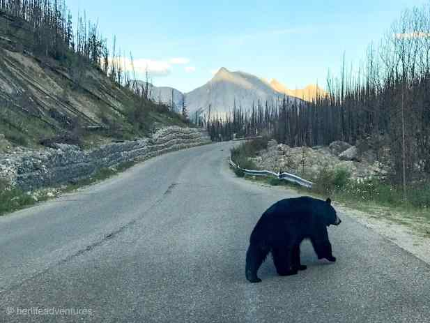 bear_crossing