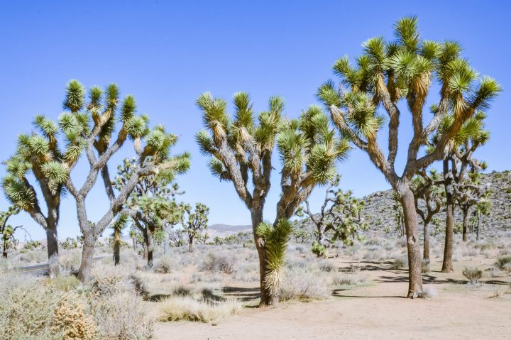 The perfect itinerary for one day in Joshua Tree National Park California including what to do, the best sites and Instagram photo spots. #joshuatree #nationalpark #california | things to do in Joshua Tree | Joshua Tree photography | one day itinerary Joshua Tree | Joshua Tree hikes | California travel | California road trip | National Park California | national parks united states