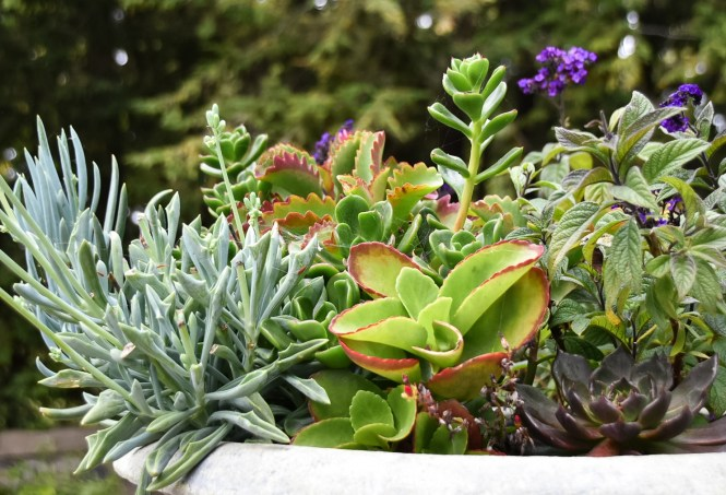 Succulent Arrangement at Cranbrook Botanical Gardens