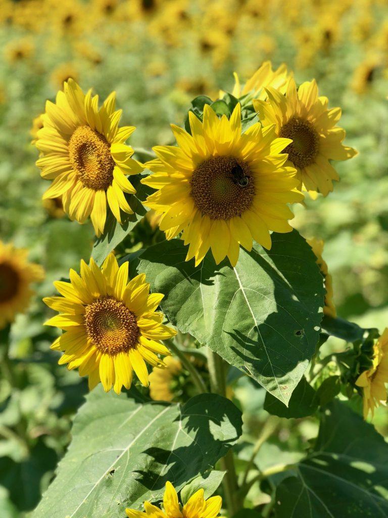 Idgie's Sunflower Farm: A Burst of Sunshine in Western Kentucky | www.herlifeinruins.com
