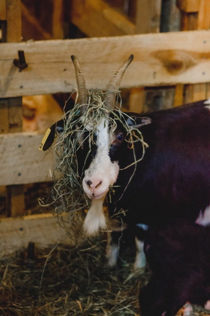 Her Life in Ruins | An Adventure at Kentucky Down Under - A goat with grass on her head poses for the camera in the woolshed