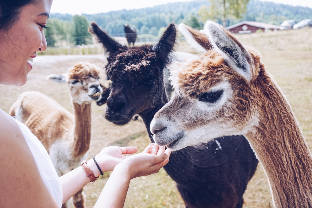 Meeting Alpacas at Skepplanda Alpackagård